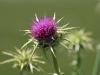 globe artichoke flower
