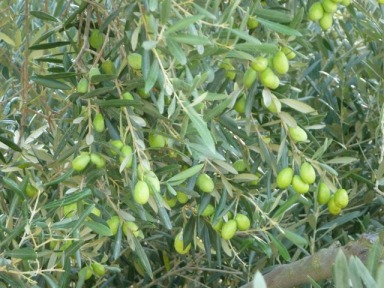 The Olive Story in Provence
