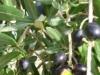 Ripe Olives