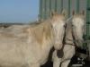 Camargue White Horses