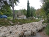 Sheep in Eguilles