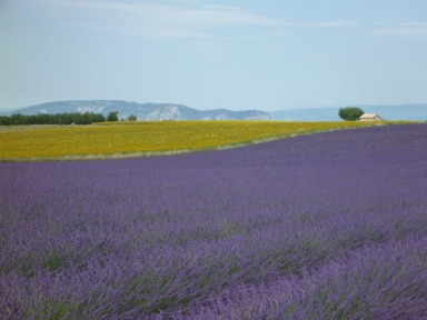Provence's Purple Fields of Essential Lavender Oil
