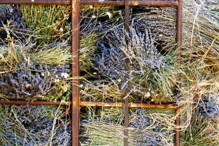 Lavender ready for distllation