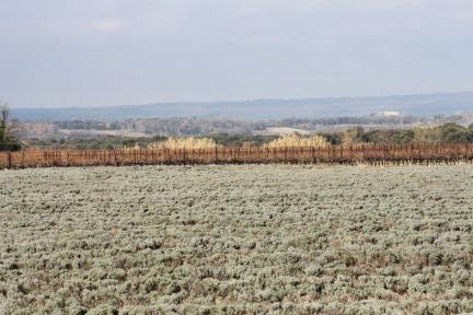 Lavender in January