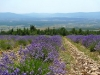 Lavender Fields, Sault