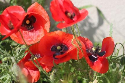 Jean-Moulin-Poppies