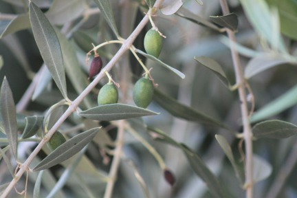 olives-in-june