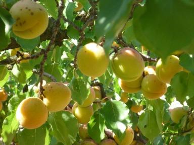 Ancient Apricots