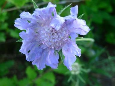 Bleuet - Cornflower