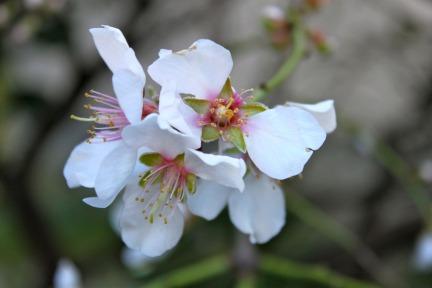 flower-almond