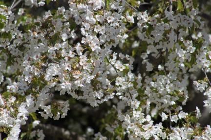 flower-cherry