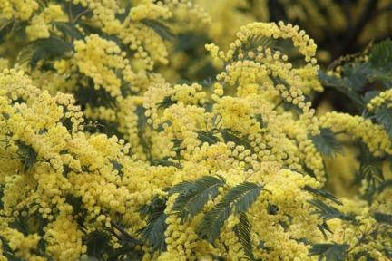 flower-mimosa