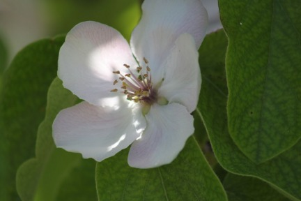 flower-quince