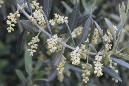 olive-flowers-in-the-spring