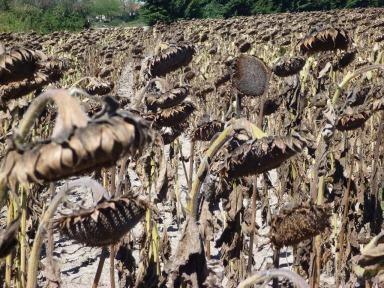 Sunflowers End of Season