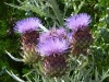 Cardoon Thistle Flower