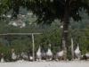 Dordogne-geese