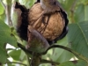 Dordogne walnuts