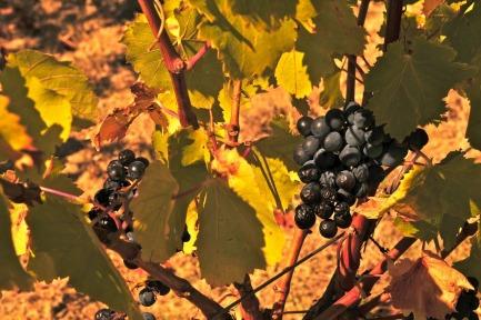 October-grapes