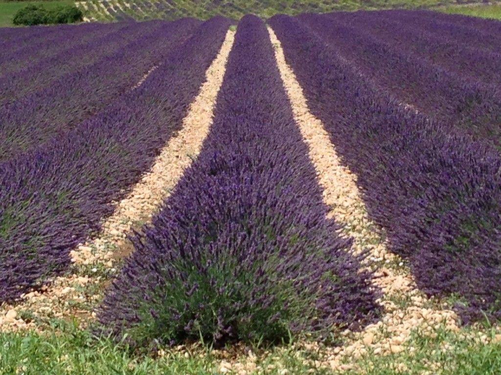 Lavender #Provence #PerfectlyProvence #Lavender @gingerandnutmeg