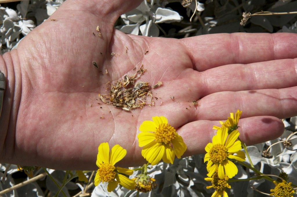 Brittlebush #DesertPlants #DesertTour Things to do in Palm Springs #PalmSprings
