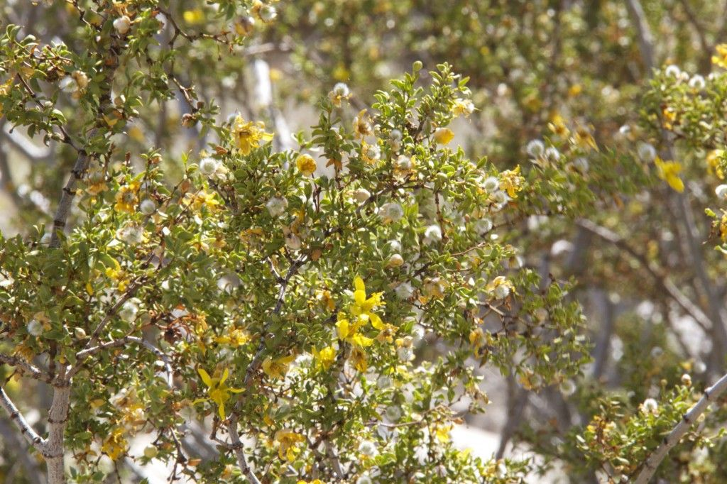 Creosote Bush #DesertPlants #DesertTour Things to do in Palm Springs #PalmSprings