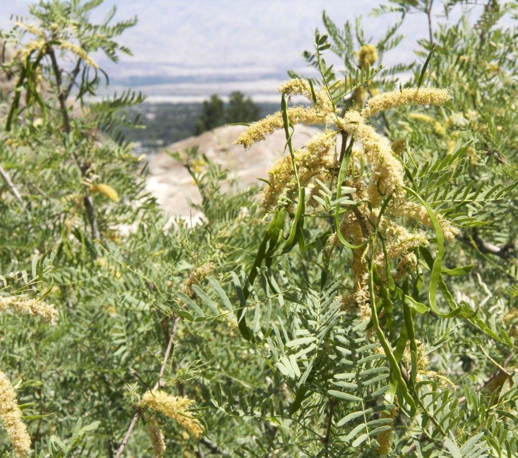 Mesquite Acacia