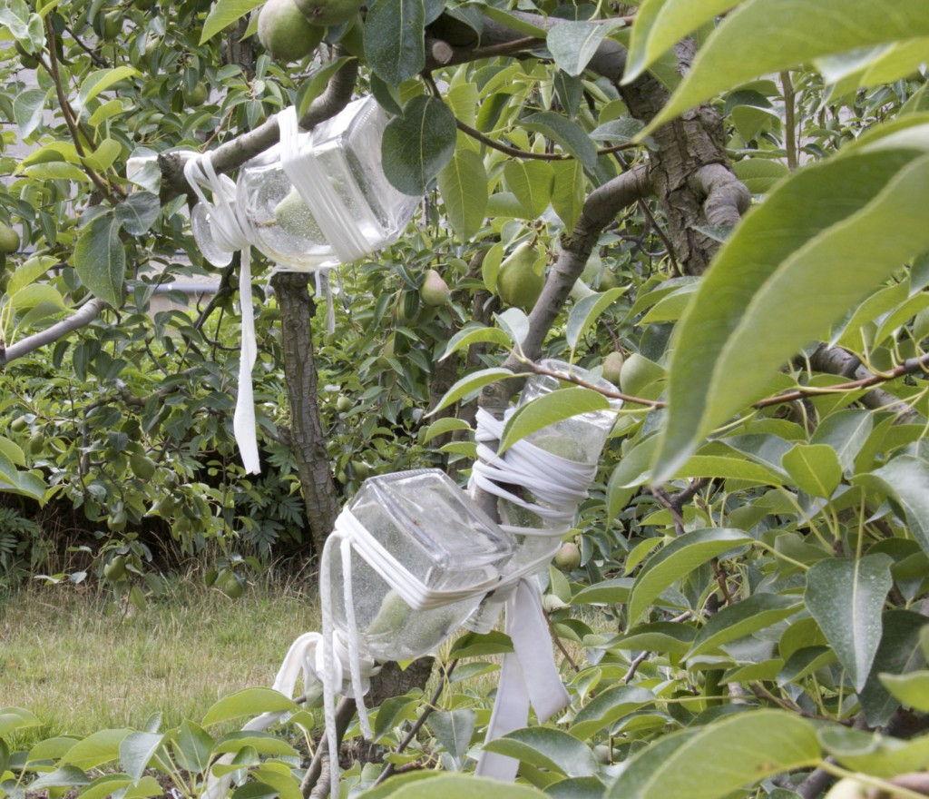 Manguin Pears  #ManguinDistillery #Provence #Avignon