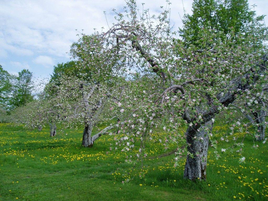 Domaine Pinnacle Apples Trees Flowersing #DomainePinnacle