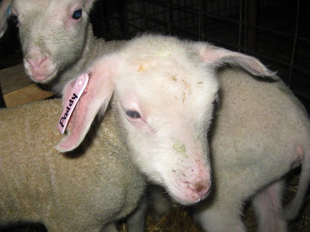 The Cheesiry #Alberta #Sheep #Cheese @TheCheesiry