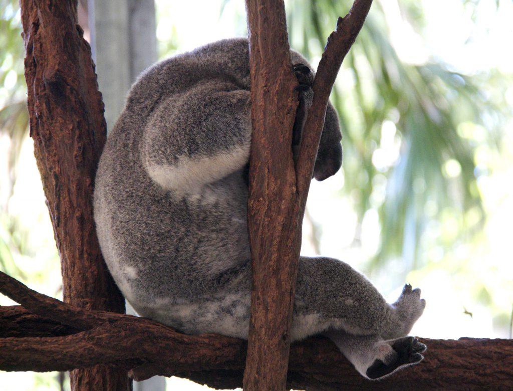 Lone Pine Koala Sancutary #Brisbane #Australia